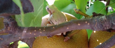 frog sitting on pear branch